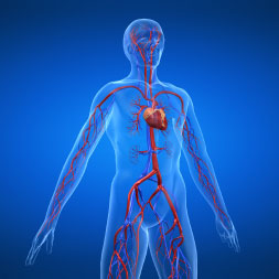 Introduction to the Cardiovascular System